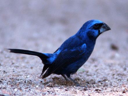 Pássaros silvestres: criação de azulão