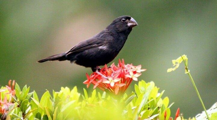 Pássaros Silvestres: Criação de bicudo