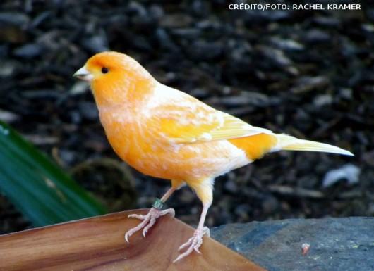 Mutações em Canários e outros pássaros